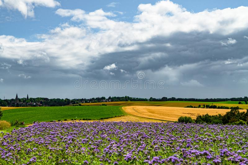 在耕地领域的黑暗的雨云用麦子、甜菜和phacelia,蜂食物,紫色艾菊,蝎子野草 库存照片