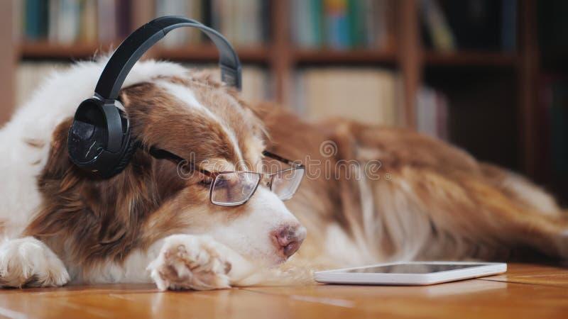 在耳机,在地板上的谎言的一条滑稽的狗在片剂附近 设备和动物 免版税库存照片
