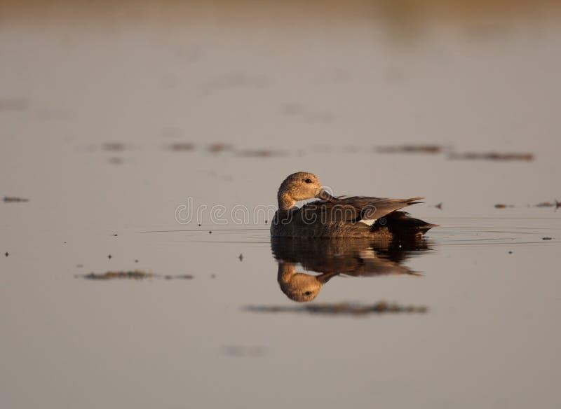 在联接的全身羽毛的德雷克野鸭在一个安静的大草原坑洼自夸 免版税库存照片