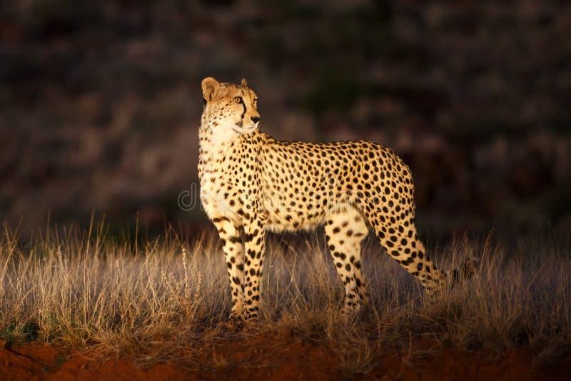 在聚光灯的猎豹 免版税库存图片