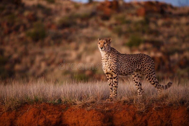 在聚光灯的猎豹 免版税图库摄影