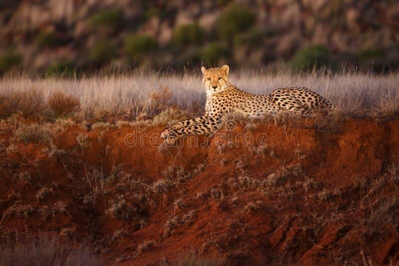 在聚光灯的猎豹 免版税库存照片