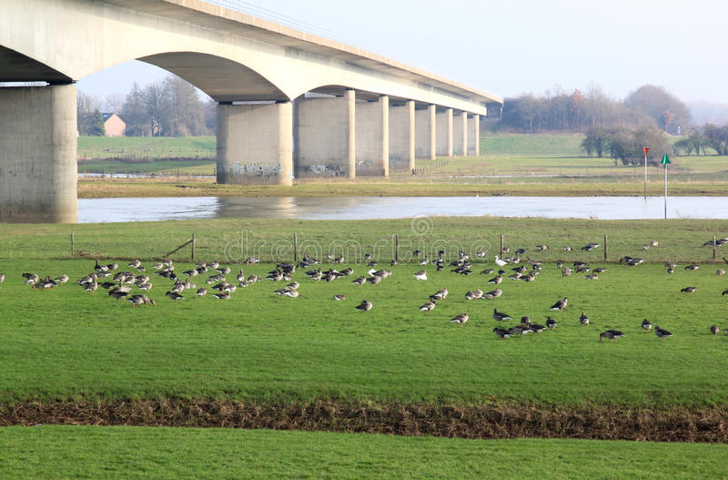 在聚特芬附近,荷兰新的桥梁的灰雁  图库摄影