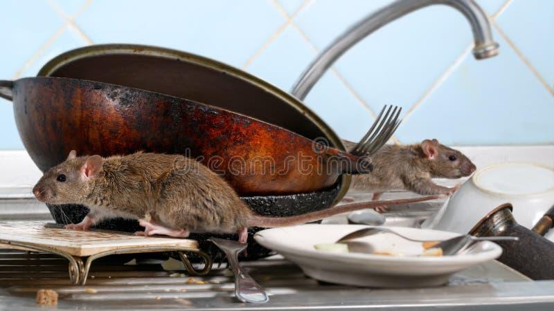 在肮脏的盘的两年轻人鼠攀登在厨房水槽 两件老平底锅和陶器 免版税库存图片