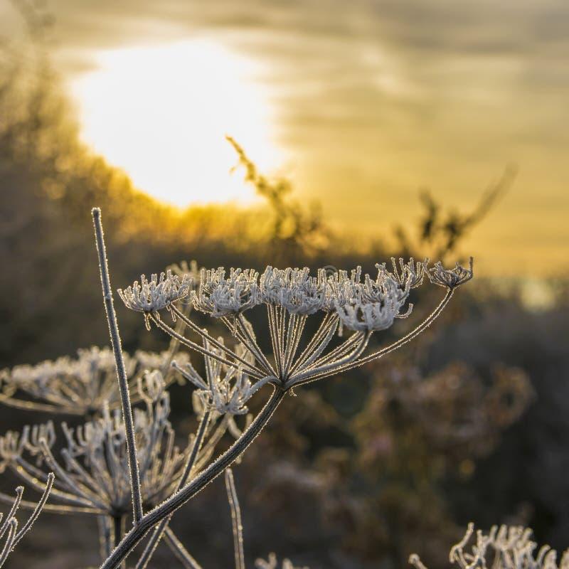 在背后照明的冰花在日出 库存图片
