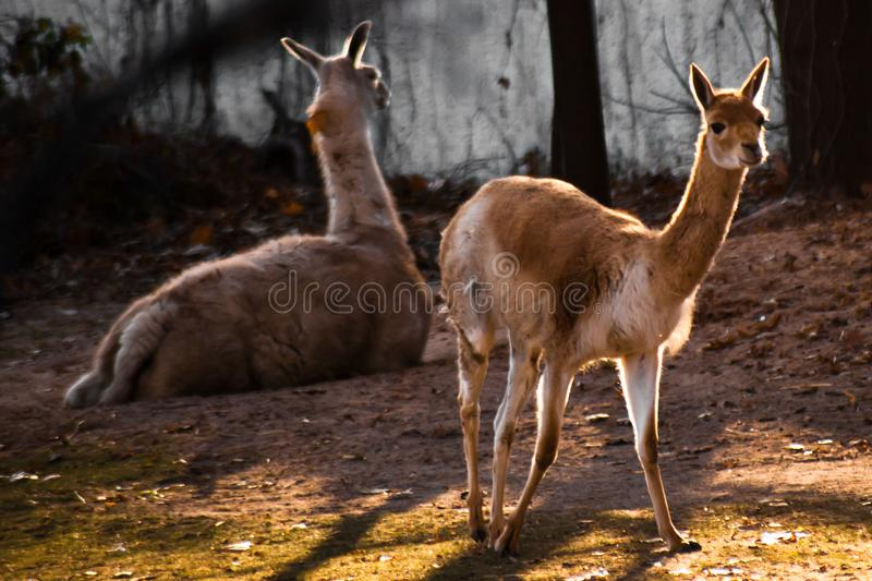 在背后照明的年轻llamastands,在的一个幼小苗条动物 图库摄影