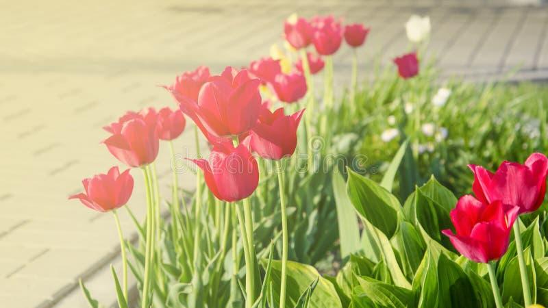 在背后照明的许多美丽的红色郁金香 免版税库存图片