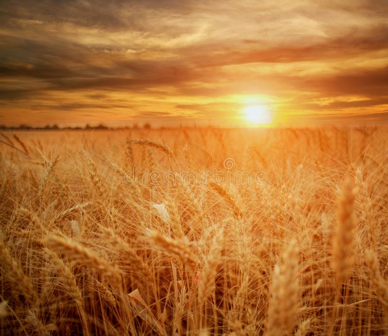 在背景剧烈的日落,季节农业谷物丰收的麦田成熟五谷和词根麦子 免版税库存照片