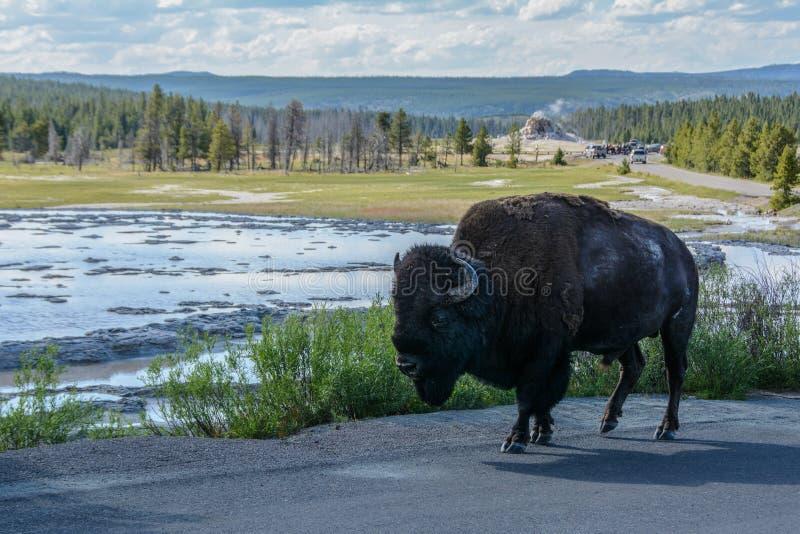 在背景喷泉的北美野牛在黄石国家公园,怀俄明美国 库存图片