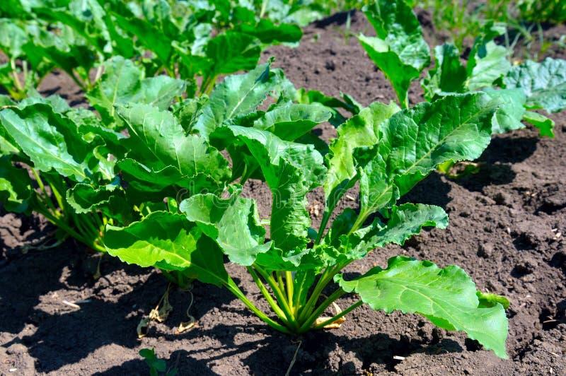 在背景土壤的甜菜根顶 库存图片