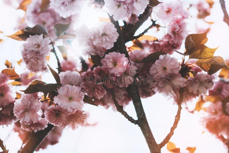 在背景太阳火光,宏观桃红色樱桃树的佐仓开花在春天庭院,卡片干净的空间的美丽的浪漫花里 库存照片