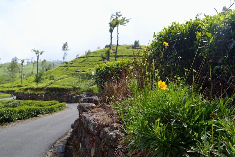 在背景新鲜的绿茶种植园的黄色花 免版税图库摄影