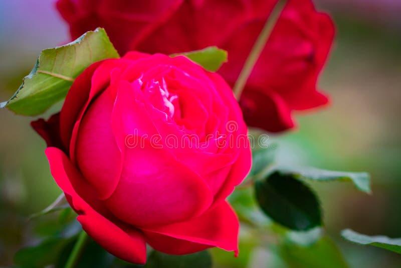 在背景桃红色玫瑰花的桃红色罗斯花 自然 免版税图库摄影