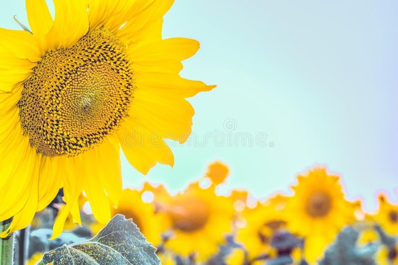 在背景的开花的向日葵调遣与明亮的蓝天 图库摄影
