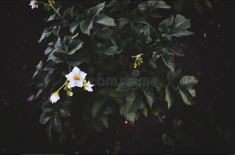 在背景的开花的土豆 图库摄影