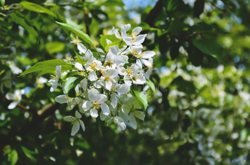 在背景的开花的苹果树 免版税图库摄影
