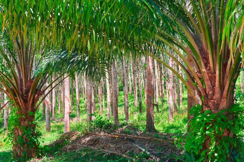在背景种植园三叶胶树橡胶树的油棕榈树 库存照片