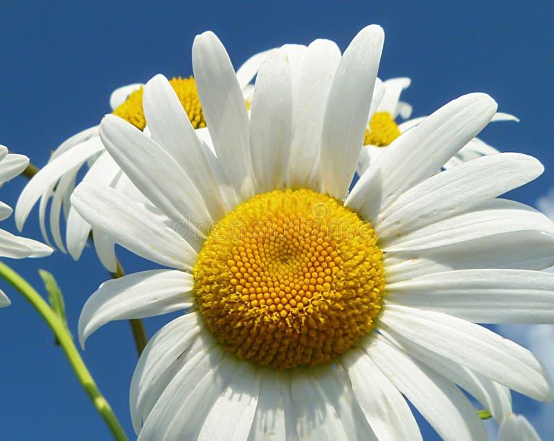 在背景蓝天的白色菊花轮 库存图片
