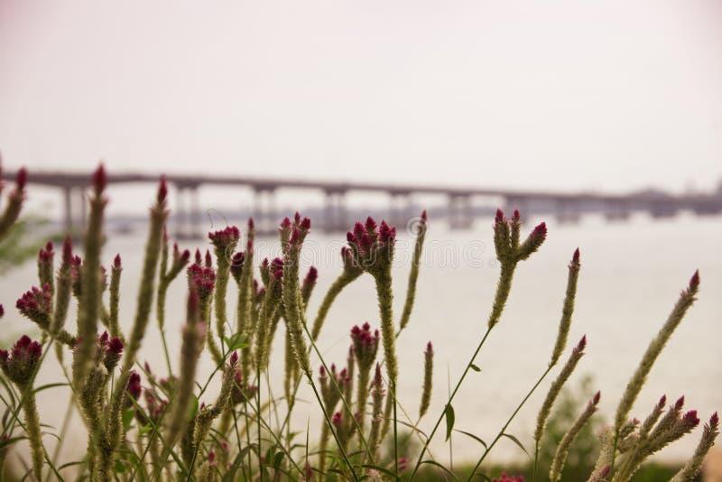 在背景迷离桥梁的花 免版税库存照片