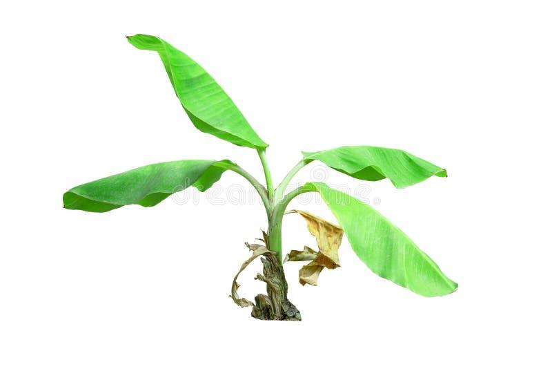 在背景隔绝的热带充分的香蕉树 免版税库存照片