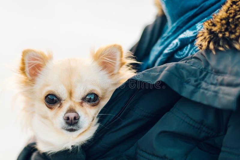 在胳膊的小逗人喜爱的奇瓦瓦狗狗 逗人喜爱的幼小小狗,大眼睛,是 免版税库存图片