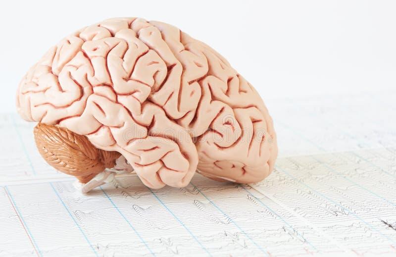 在脑波背景的人脑模型  库存照片