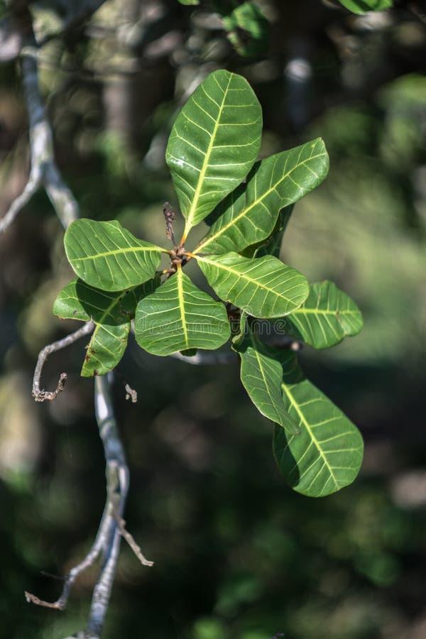 在腰果树的腰果叶子 库存照片