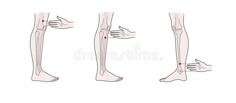 在腿的活跃针灸点:在膝盖上,在膝盖下,在脚腕上 向量例证