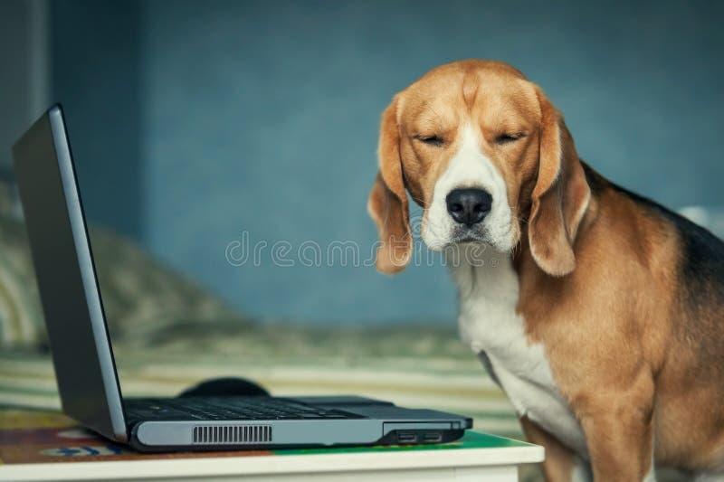 在膝上型计算机附近的滑稽的困小猎犬狗 图库摄影