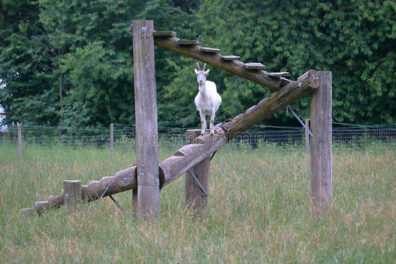 在自创上升的梯子的山羊 库存图片