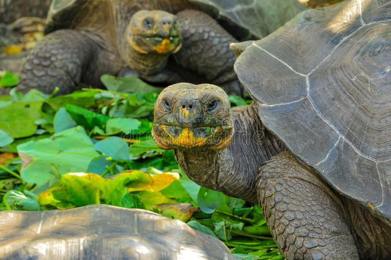 在自然保护的加拉帕戈斯草龟在加拉帕戈斯群岛,厄瓜多尔 免版税库存照片