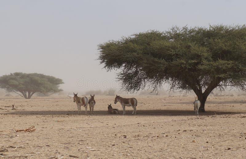 在自然保护的野生驴在埃拉特,以色列附近 免版税库存图片