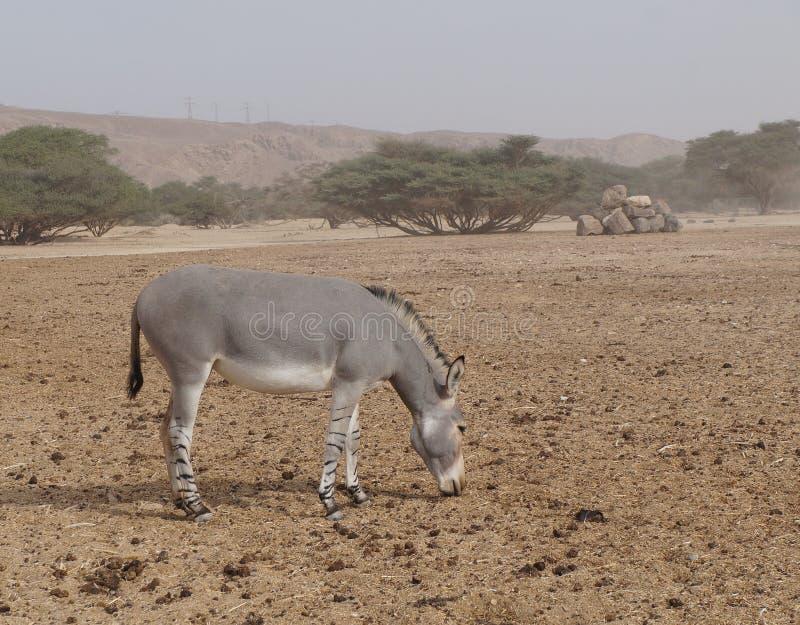 在自然保护的野生驴在埃拉特,以色列附近 免版税图库摄影