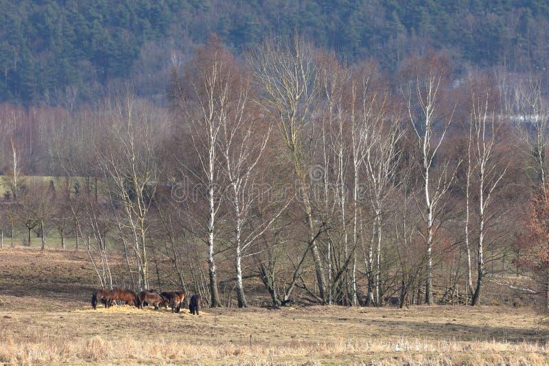 在自然保护的野马 免版税库存图片