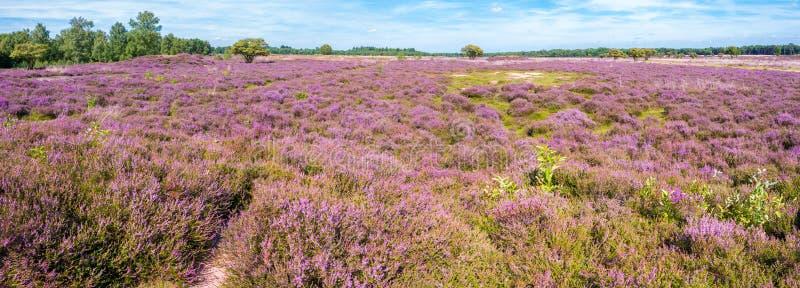 在自然保护Gooi的紫色荒地风景在希尔弗萨姆, Ne附近 免版税库存照片