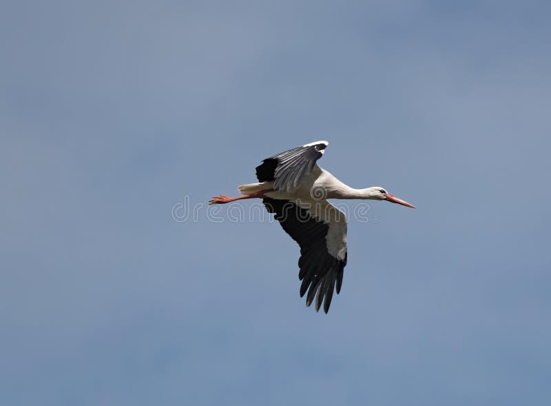 在自然保护Kuehkopf,黑森,德国上的一次白色鹳Ciconia ciconia飞行 免版税库存照片