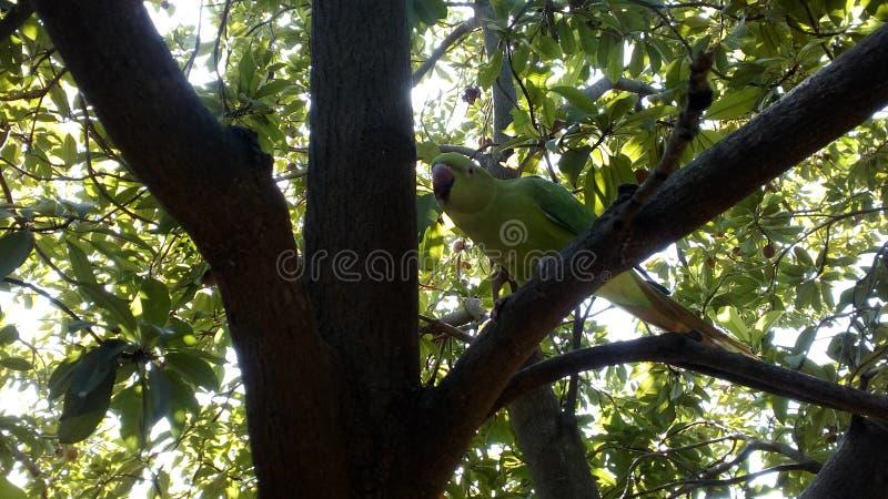 在自然地看的树的鹦鹉 图库摄影