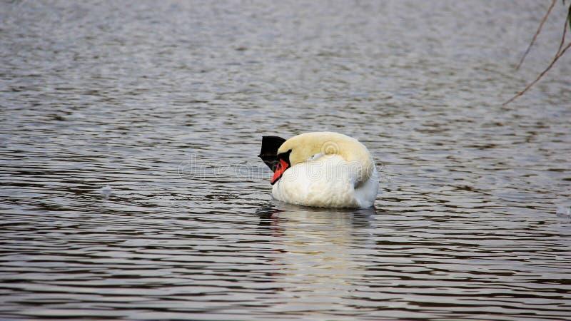 在自然小缺乏的一只白色天鹅 免版税库存照片