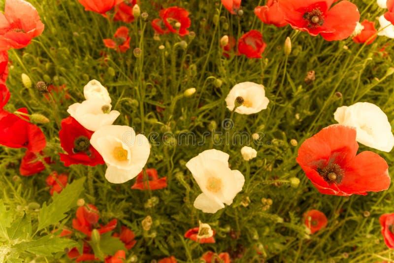 在自然春天场面的五颜六色的花田有顶视图 库存图片