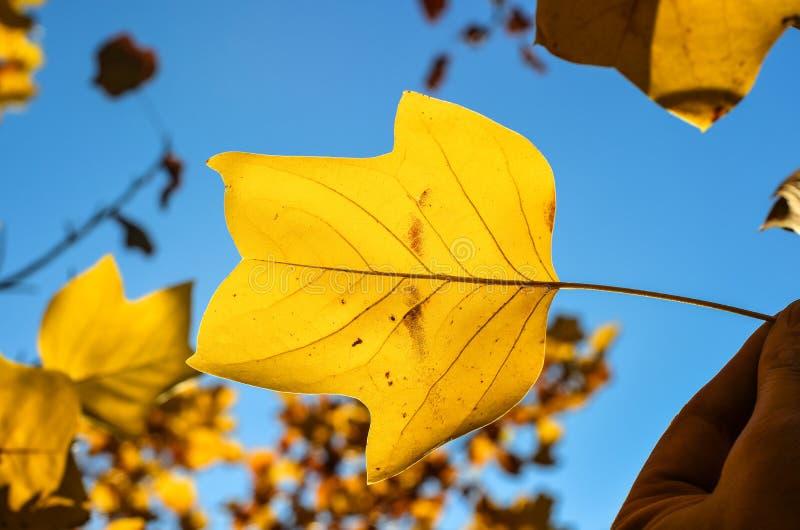 在自然本底的美丽的明亮的黄色木兰树叶子 木兰树叶子关闭 与自由空间的秋天背景 te 免版税库存照片