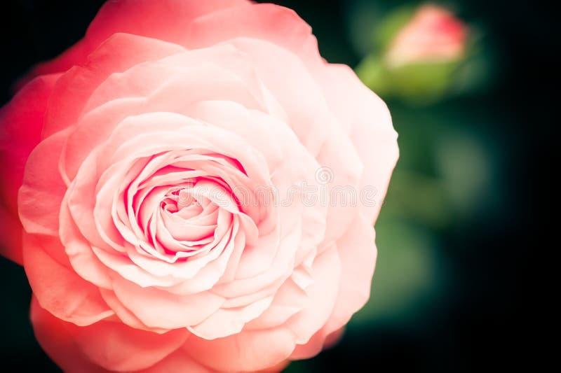 在自然本底的美丽的桃红色玫瑰花 库存图片