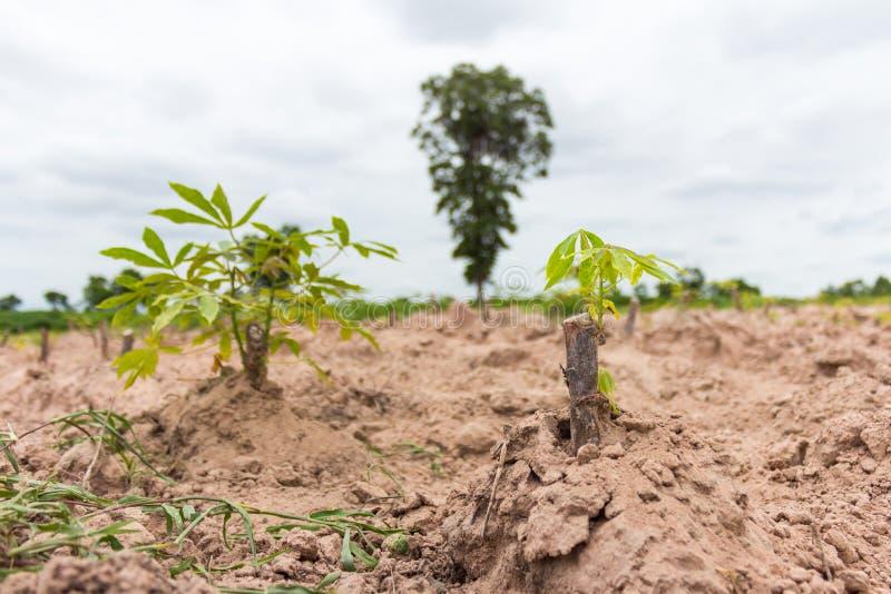 在自然树苗的绿色木薯领域 免版税库存图片