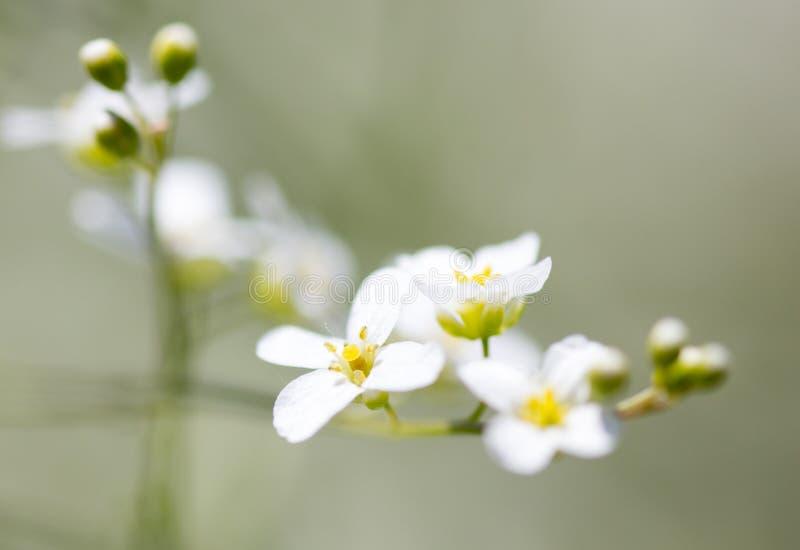 在自然的小白花 库存图片