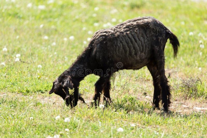 在自然的山羊 库存图片