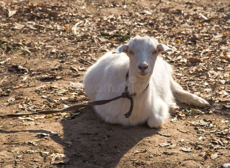 在自然的山羊 免版税库存照片