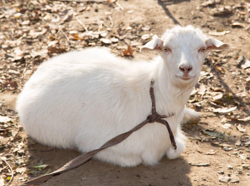 在自然的山羊 库存照片