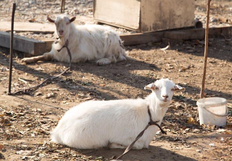 在自然的山羊 图库摄影
