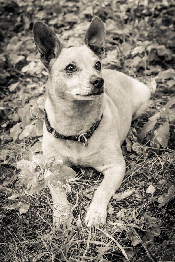 在自然的狗品种微型短毛猎犬在夏天特写镜头的公园 黑白老难看的东西葡萄酒照片 免版税库存图片