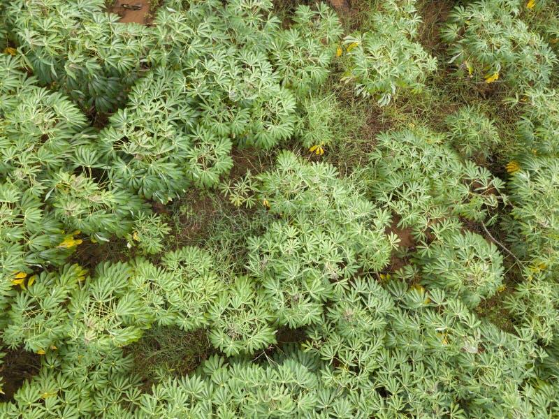 在自然的绿色木薯领域 图库摄影