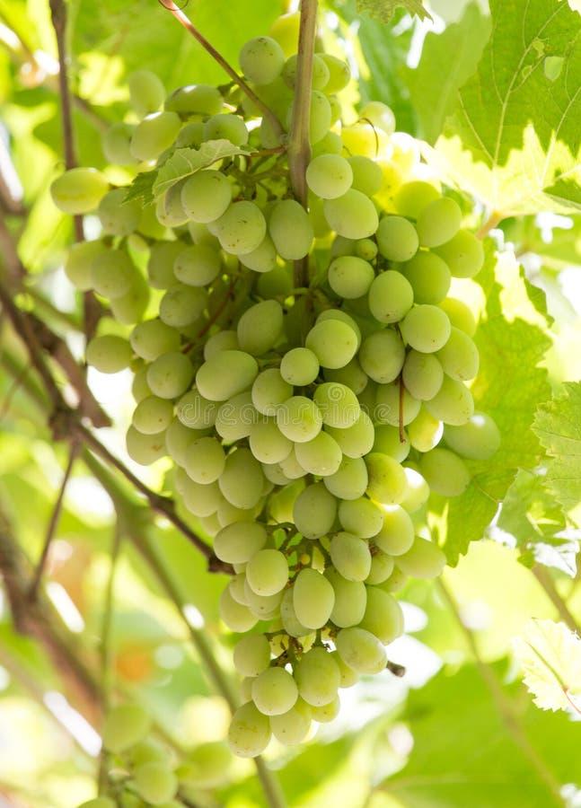 在自然的绿色葡萄 免版税库存照片